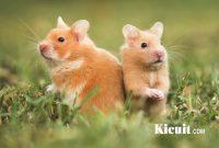 Kebiasaan Hamster Yang Harus Diketahui
