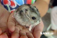 Mengetahui Umur Hamster