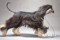Tips merawat anjing Afghan Hound dengan mudah