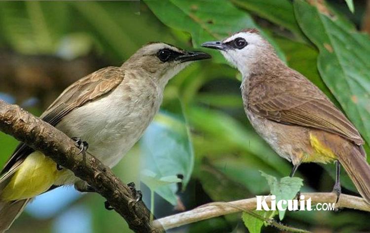 Download Suara Burung Trucukan