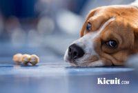 Penyebab Anjing Batuk dan Pengobatannya