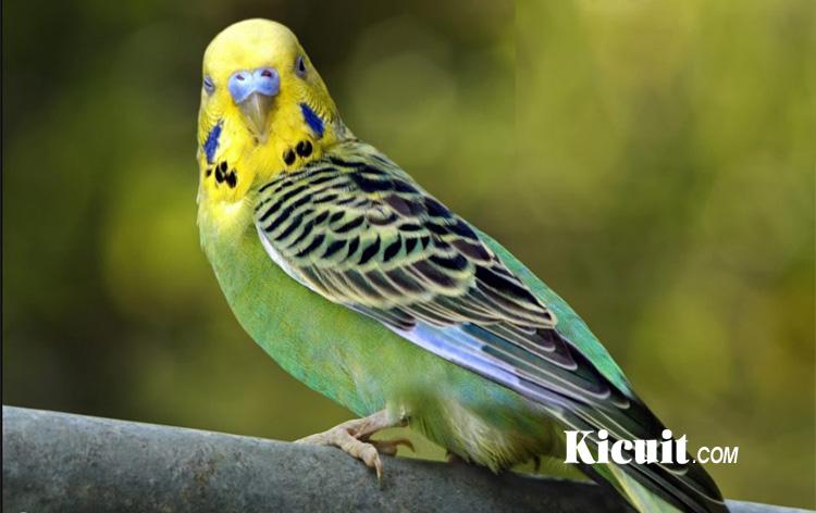 Ciri-Ciri Parkit Holland Dan Perbedaannya Dengan Burung Parkit Lokal