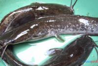 Jamur Pada Ikan Lele