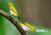 Download MP3 Suara Burung Pleci Isian