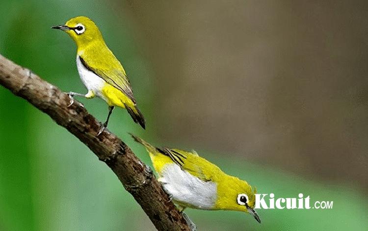 Download Mp3 Suara Burung Pleci Isian Kicuit Com