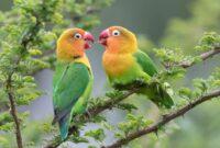 Download Kicau Lovebird Mp3 Gacor Durasi Panjang