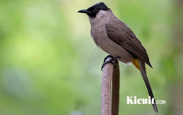 Download Suara Burung Kutilang Untuk Pikat dan Masteran