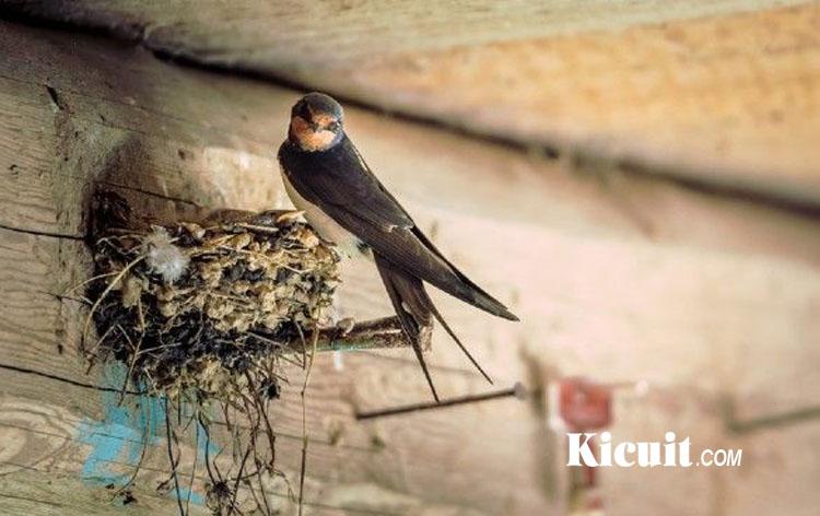 Download Suara Burung Walet MP3 – Untuk Pancingan