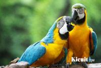 Suara Burung Macaw