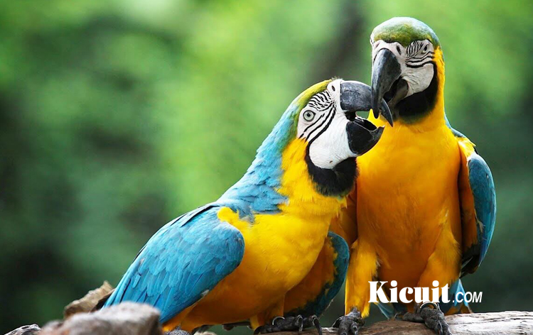 Download Suara Burung Macaw