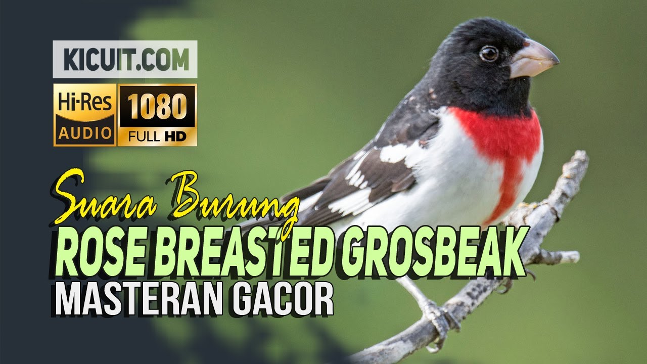 Download Suara Burung Rose Breasted Grosbeak