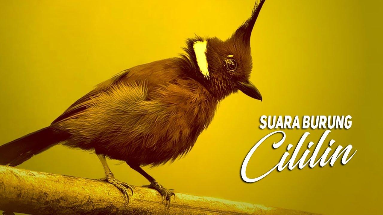 Download Suara Burung Cililin Gacor Ngeroll Panjang