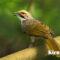 3 Pakan Alami Burung Cucak Rawa yang Tepat dan Berkhasiat