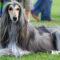 Karakter Anjing Afghan Hound