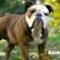 Karakter anjing Bulldog