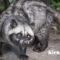 Mengawinkan Musang Pandan