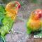 Mengenal 25 Jenis Burung Lovebird Utama Dan Hasil Persilangan