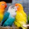 Jenis Burung Lovebird Hasil Persilangan